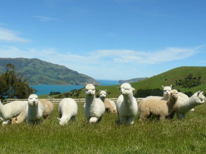 La granja de alpacas Shamarra